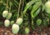 आम का बगीचा लगाकर प्रत्येक सीजन में छह लाख रुपये तक कमाएं